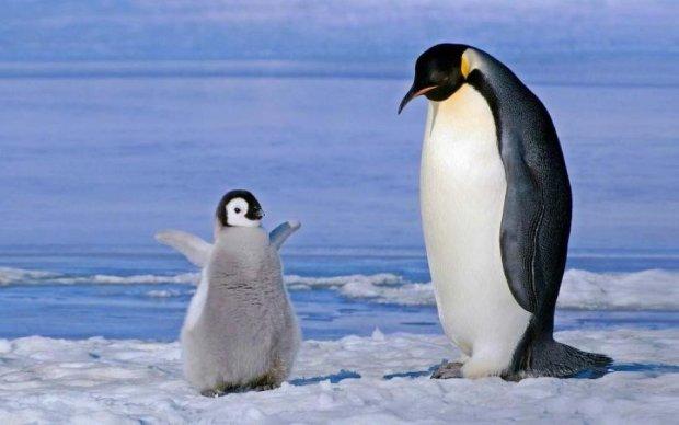 Мимишность зашкаливает: новогодние пингвины покорили сеть