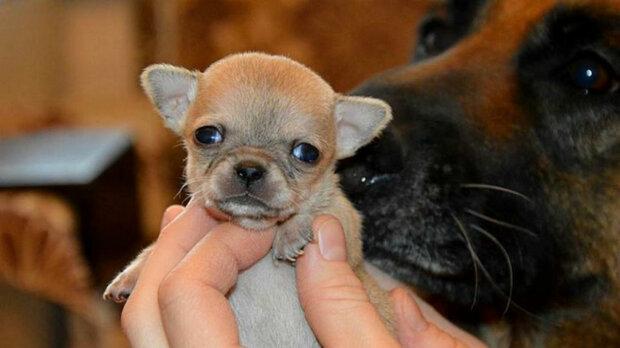 Показали самую маленькую собачку в мире. На ее фоне даже обычная кошка покажется гигантом