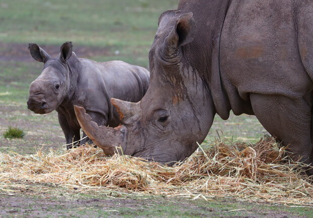Носороги, фото - Getty Images