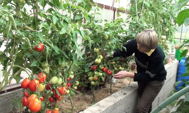 По чім в Одесі помідори: як виростити смачні томати на заздрість сусіду