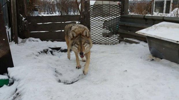 Близько 20: українці стають жертвами голодних вовків