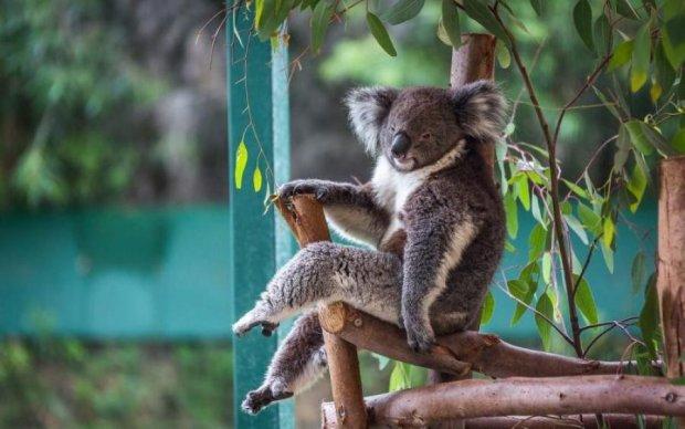 Ви сигнальте тут, а я полежу: коали кумедно заблокували водіїв