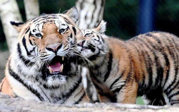 Є чому повчитися: сімейна ідилія тигрів зворушила користувачів