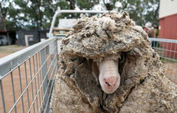 Австралийская овца, фото: reuters