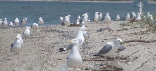 Азовське море заполонили тисячі чайок, такого не було чверть століття - природа очистилася на карантині