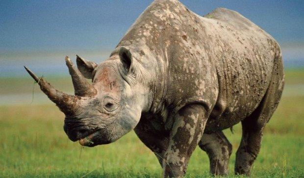 Носорогам встроили камеры для охоты за браконьерами (видео)