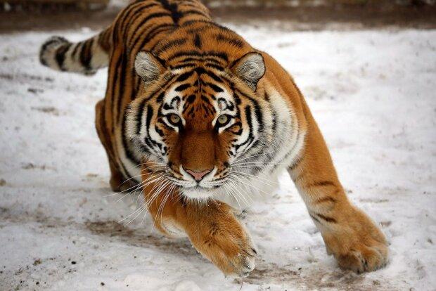 Власти спасли 150 тигров из рабства, и убили половину с особой жестокостью: подробности скандала