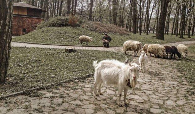 У Івано-Франківських парках гуляють вівці