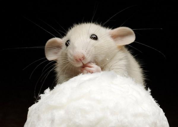 О мышах и людях: ученые создали лекарство против диабета