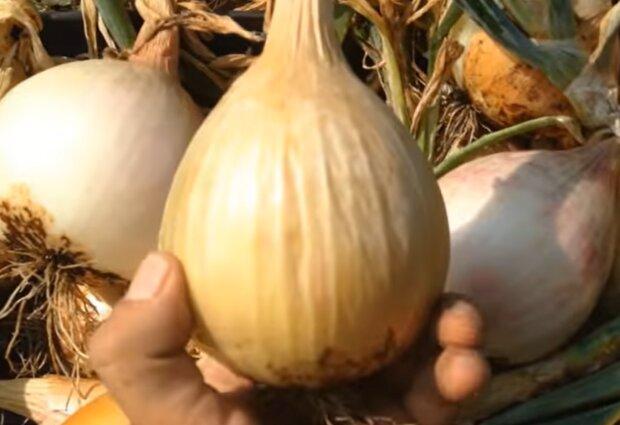 Вирощування цибулі, кадр з відео