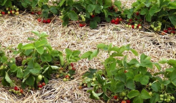 Выращивание клубники, скриншот: YouTube