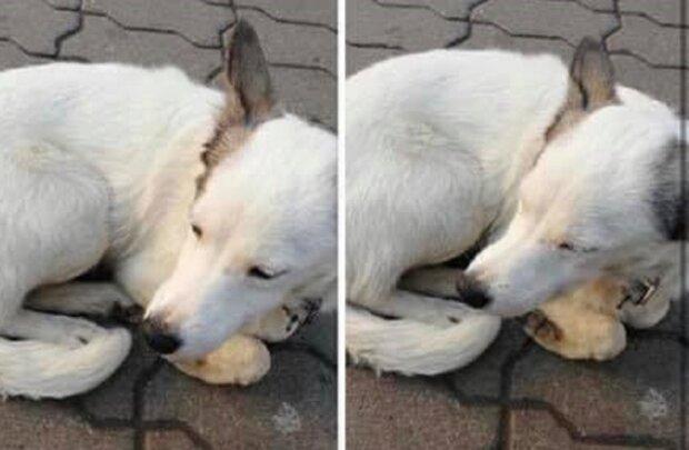 Загубився пес, фото: Facebook Реєстр собак Івано-Франківська