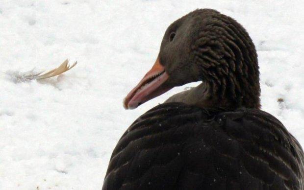 Ця мила пташка раніше була величезною і з зубами