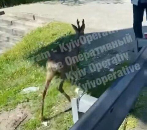 Олень, скриншот из видео