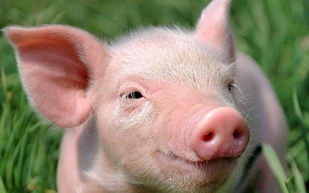 Мозг свиньи научили жить без тела