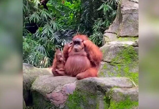 Орангутанг похитил у женщины очки и стал звездой зоопарка: мохнатый модник