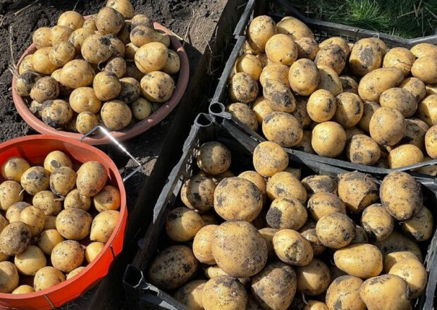50 грн за кілограм: військовим закупили картоплю за ціною набагато дорожче ринкової