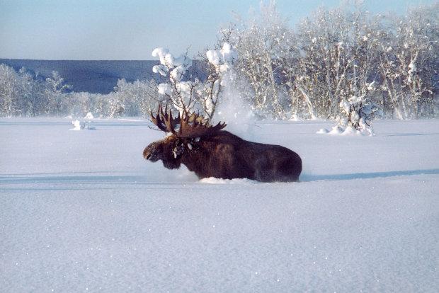 Отважные охотники спасли лося из ледяного плена: казалось, что обессиленному животному уже не помочь