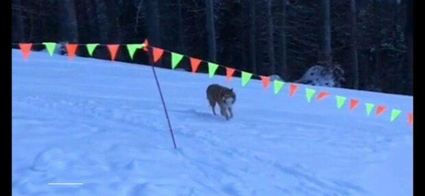 Волк, фото: скриншот из видео