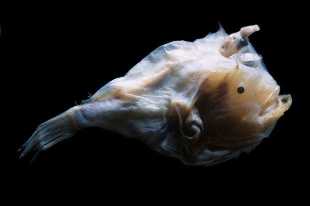 Haplophryne mollis