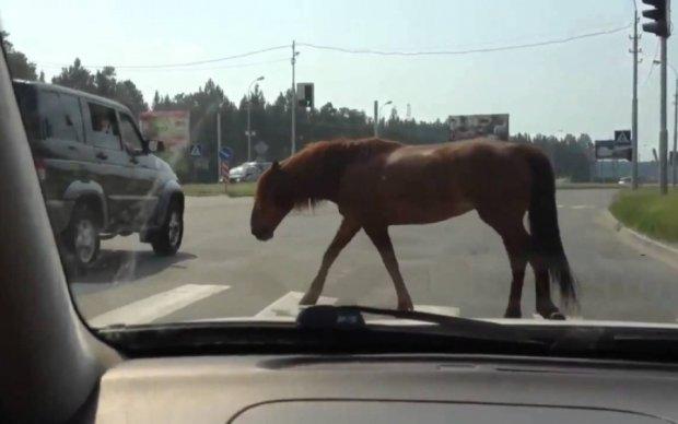 Уманські хасиди тягли по трасі коня