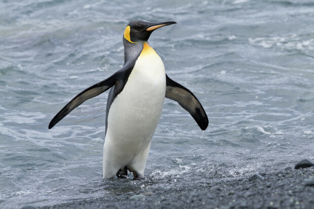 """Нічого собі """"пінгвінчик"""": вчені натрапили на рештки велетенської істоти, яка б точно стала зіркою """"Мадагаскару"""""""