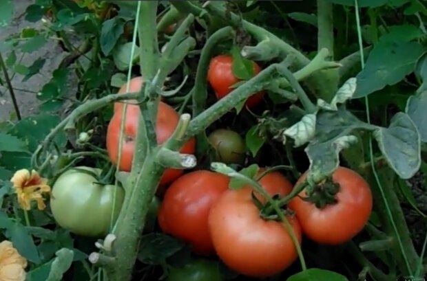 Выращивание помидоров, скриншотиз видео