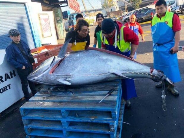 Величезний тунець, фото: Sydney Fish Market