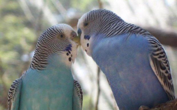 Людям стоит поучиться: история любви двух попугаев покорила сеть
