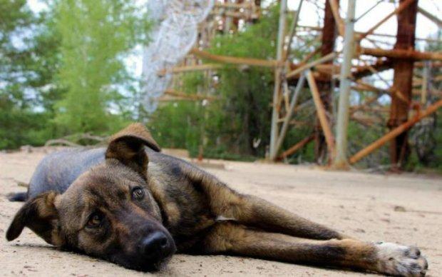 Собака з Чорнобиля вразила світ надздібностями