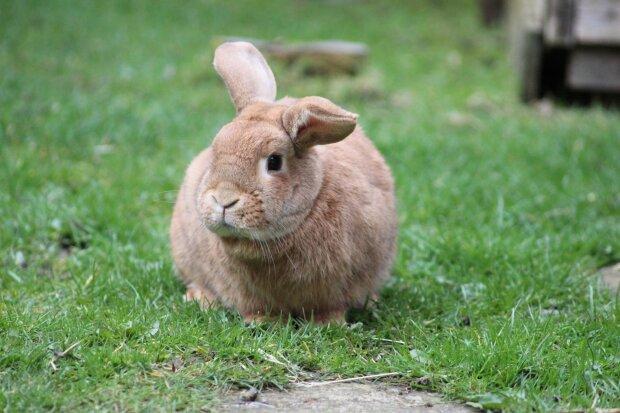 кролик, фото Pxhere
