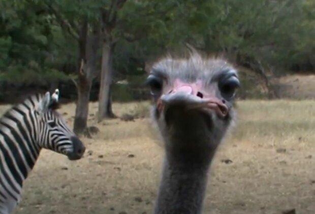 У Великобританії страус вважає себе зеброю, фото: The Sun