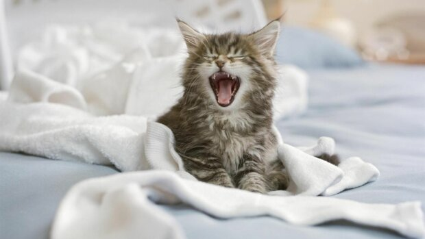 кошеня, Wikipet