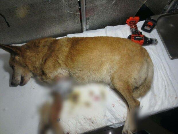 Покалеченная собака, фото: