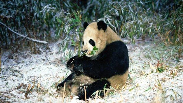 Ничего милее вы еще не видели: крошечная панда взорвала сеть реакцией на снег