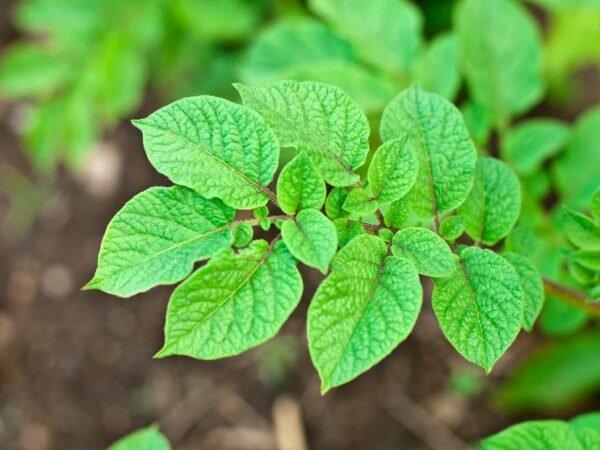 Бадилля картоплі, фото з вільних джерел