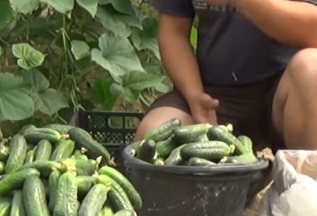 Вирощування огірків, кадр з відео