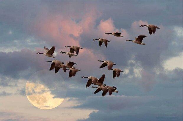 Чому гуси летять клином: люди були б сильнішими, якби взяли приклад з птахів