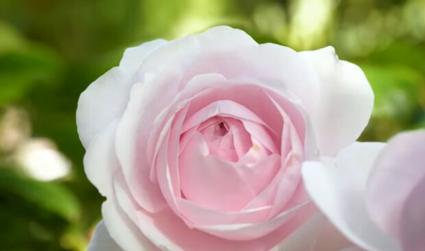 Догляд за трояндами, скріншот: YouTube