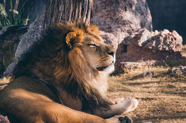 лев, фото Pxhere