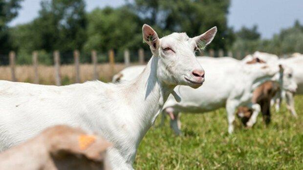 Дніпро тероризують кози-ненажери, змітають усе на  своєму шляху: дівчата, забудьте про квіти