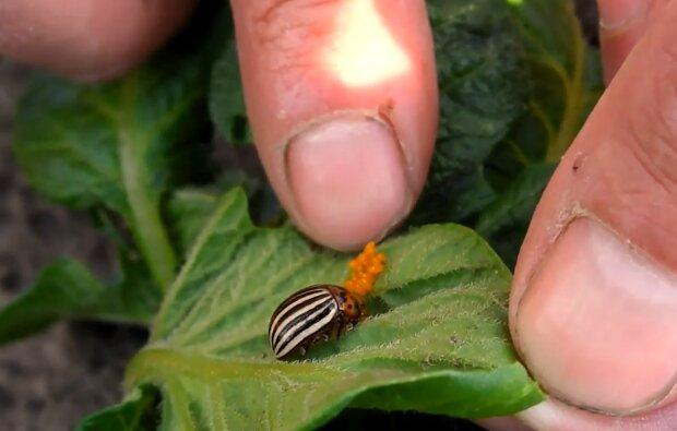 Колорадський жук, скріншот: YouTube
