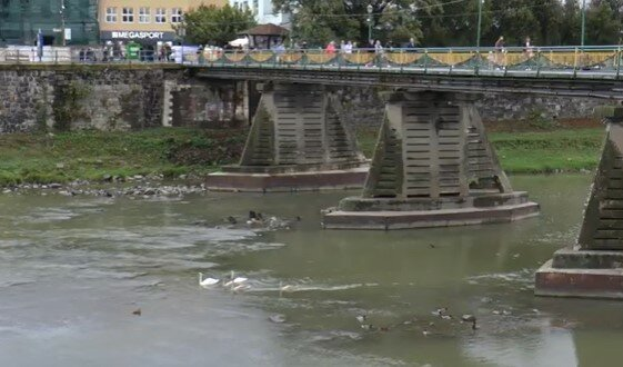 Молодые лебеди поселились в Ужгороде