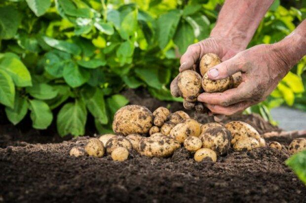 посадка картоплі