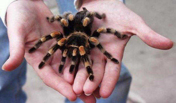 Австралійське місто атакували 25 тисяч тарантулів