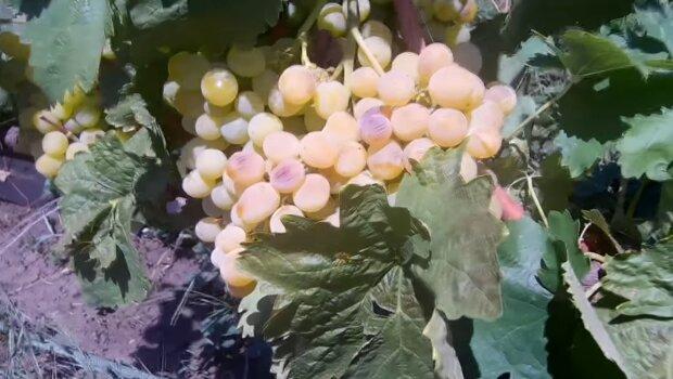 На Франковщине виноград спасли от заморозков - украинцы, будут с вином