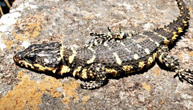 Ящірка-дракон, фото Edward Stanley