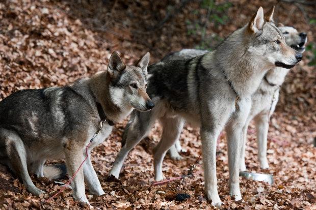 Собачья жизнь: четвероногий записался в друзья к волку, людям стоит поучиться