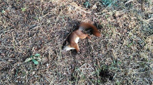 """В Тернополе белочка замертво свалилась с дерева, очевидцы в панике: """"Плохой знак!"""""""