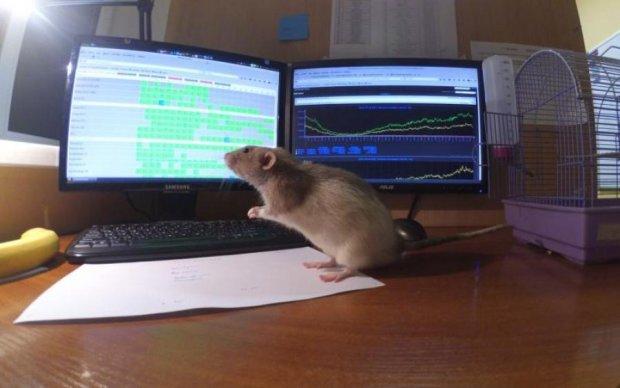 Лабораторные крысы получили повышение
